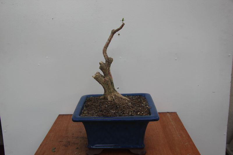 Boxwood C (8)