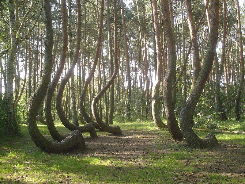 800px-Nowe_czarnowo-krzywy_las