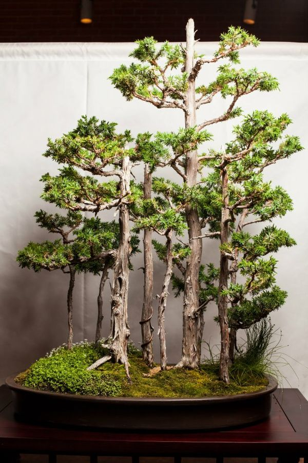 How to make a yose ue group planting the bonsai dilettante for How to make an olive tree into a bonsai