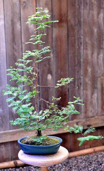 365px-Metasequoia_bonsai_photo_D_Ramey_Logan