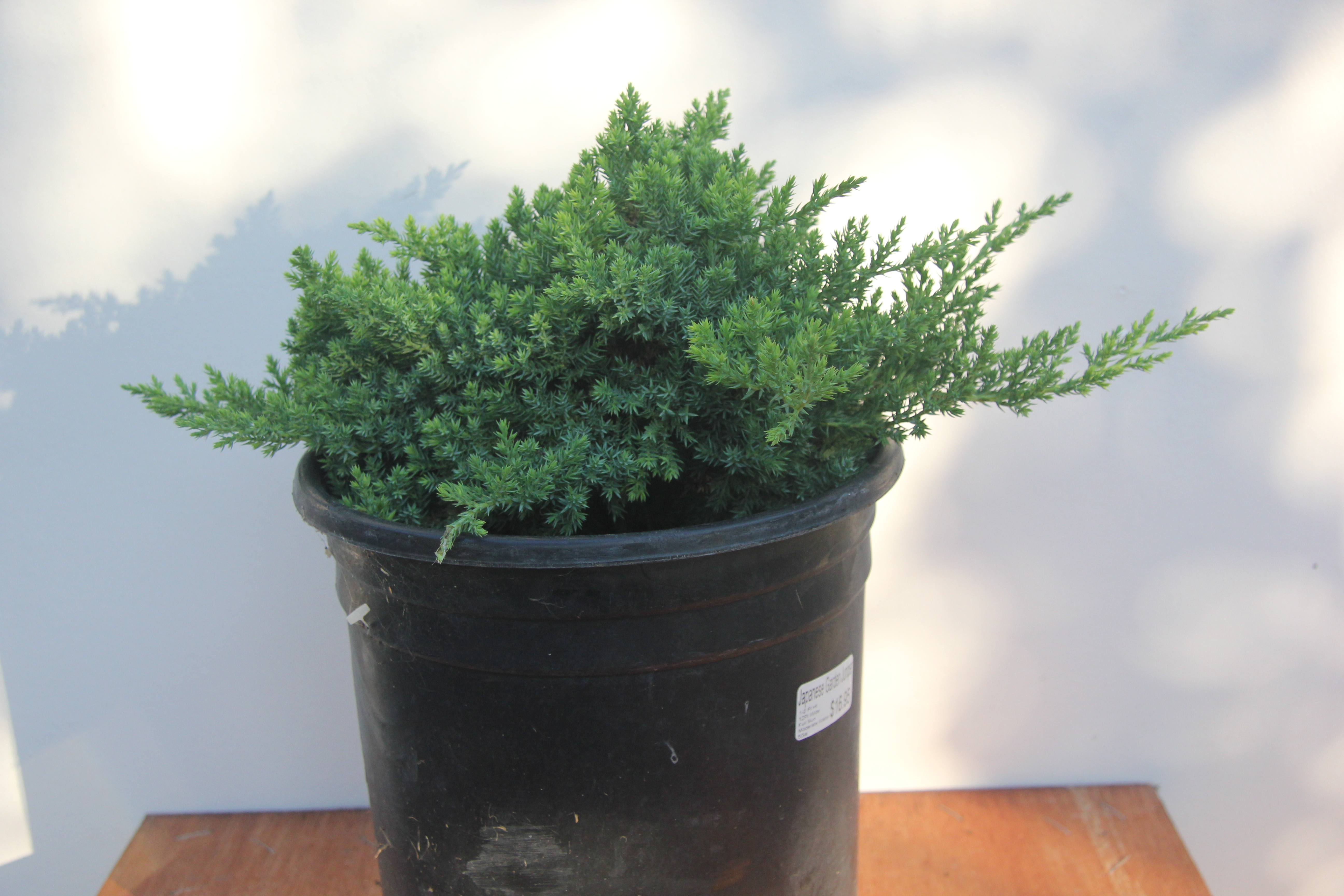 Selecting Good Nursery Stock To Grow As Bonsai The Dilettante Wiring Juniper Tree Nana Procumbens D 1