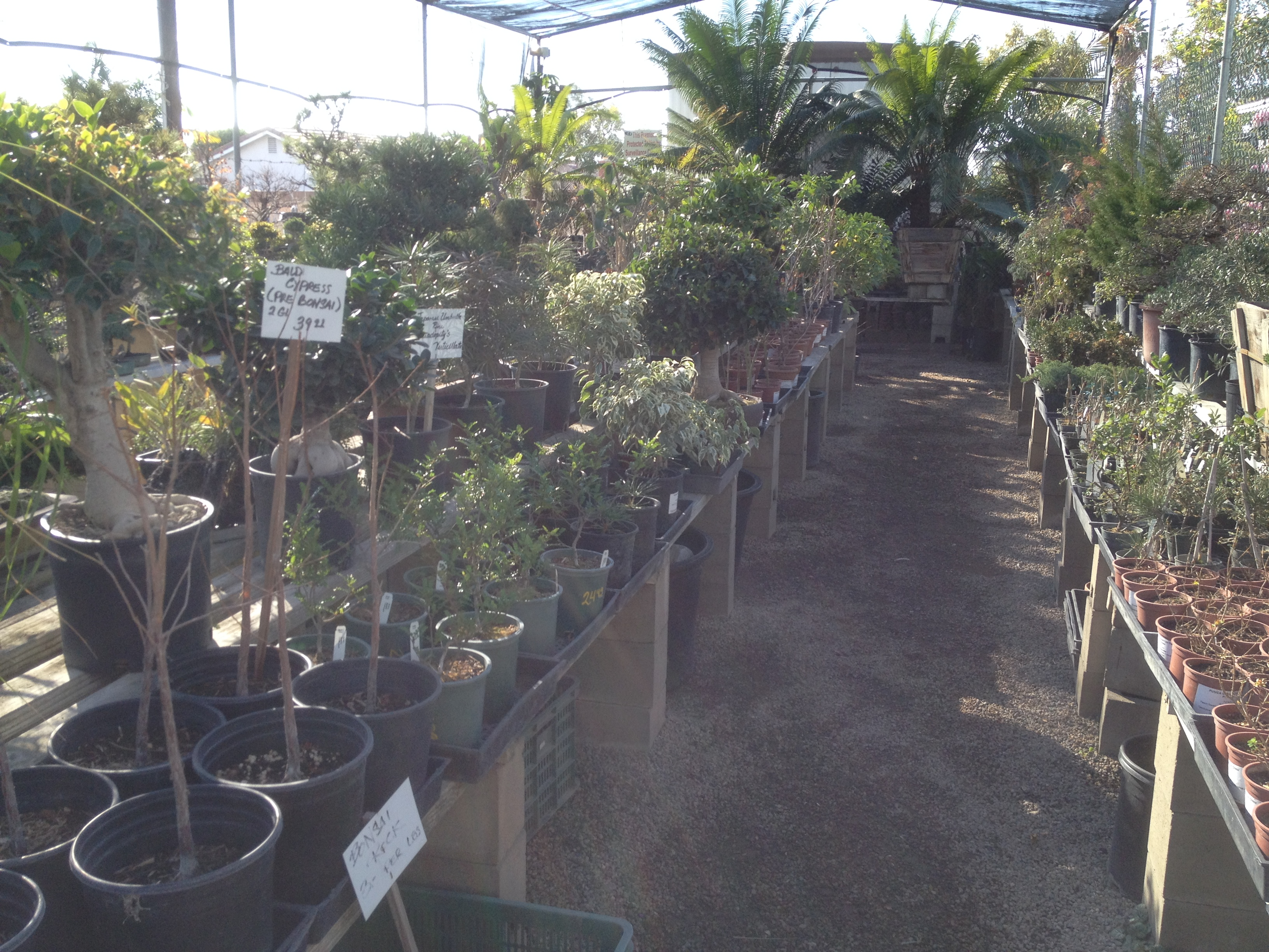 Bonsai Nursery Visit Upland