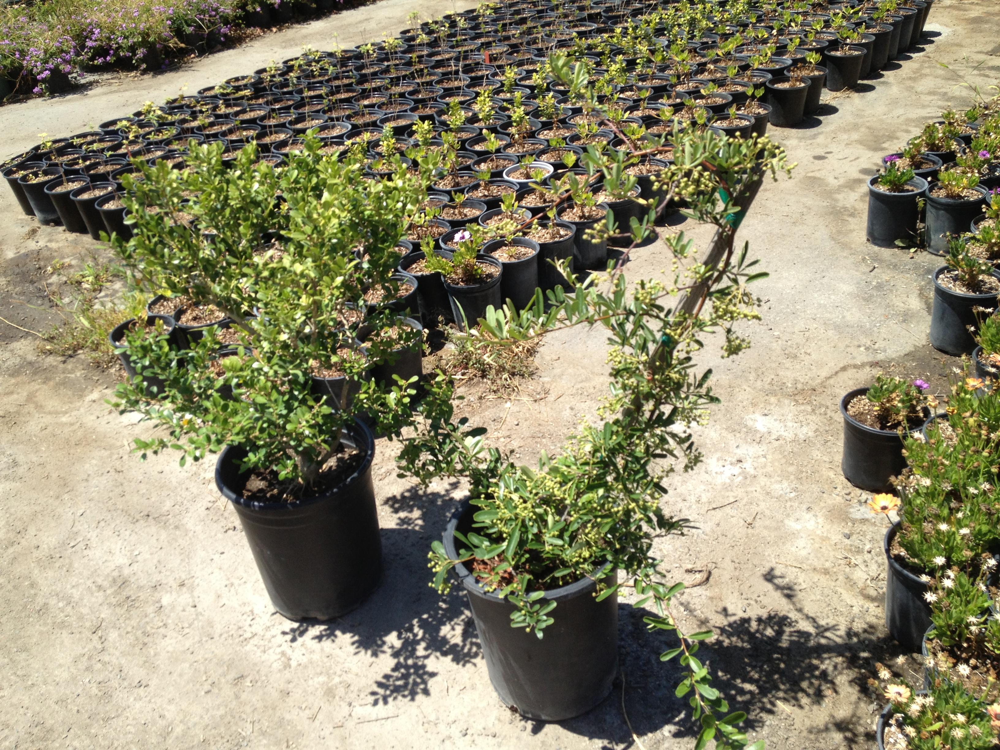 Selecting Good Nursery Stock To Grow As Bonsai The Bonsai Dilettante