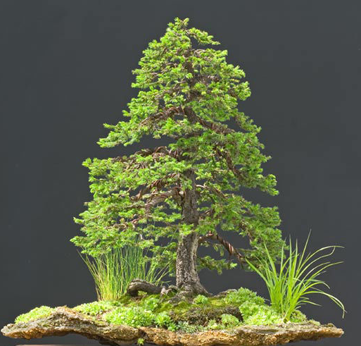some trees that are hard to grow as bonsai in socal the bonsai