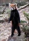 Pandafox