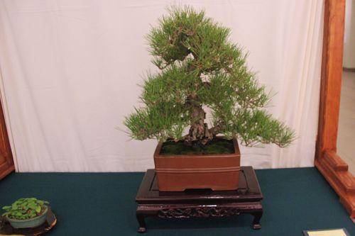 June Nguy - Cork Pine