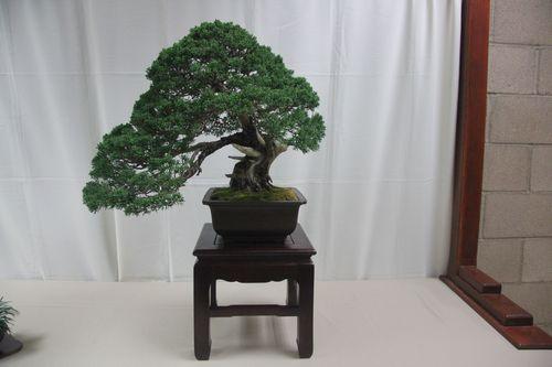 June Nguy - Black Pine