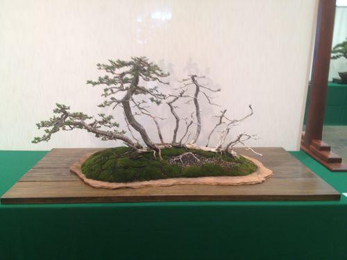 Al Nelson - Prostrata juniper