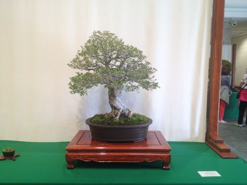 Allan Sugimura - Chinese Elm