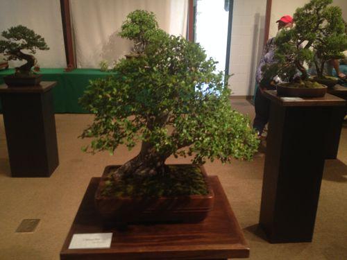Cheu-Mei Hsiao - Chinese elm