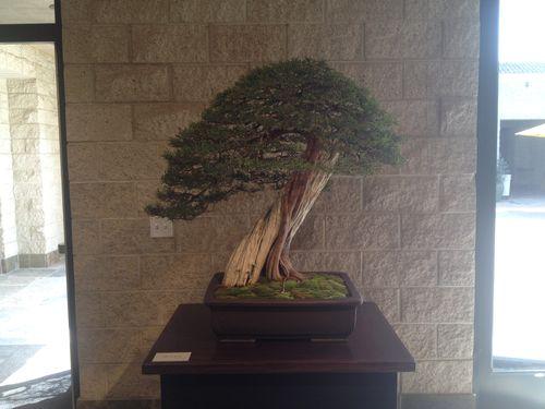 David Nguy - California juniper