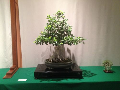 Dien Liang - Chinese Ficus