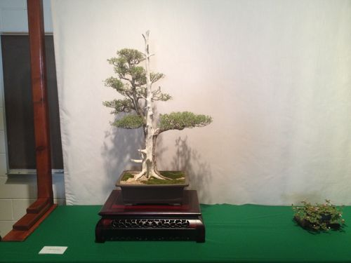 Doug McGavin - California juniper