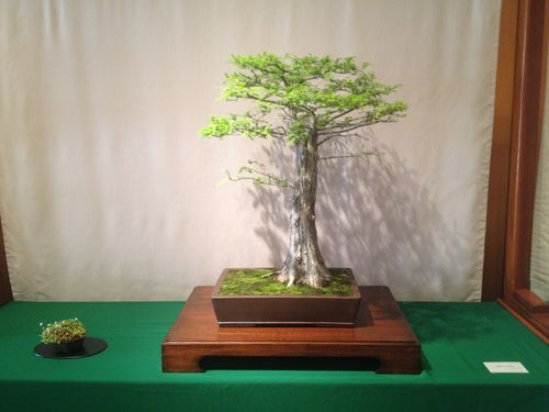 Leila Kusumi - Bald Cypress