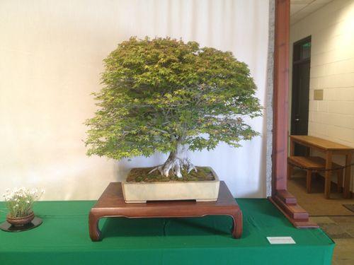 Lindsay Shiba - Japanese Mountain Maple