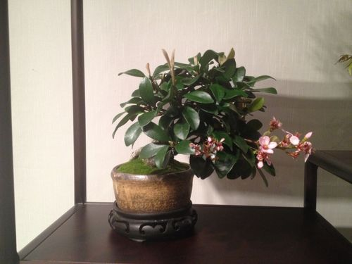 Peter Macasieb - Shohin Indian Laurel