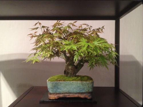 Peter Macasieb - Shohin Japanese Maple