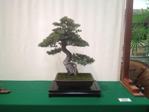 Shig Miya - Prostrata juniper