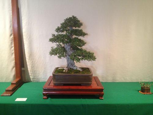 Zhao Sheng Che - Chinese elm