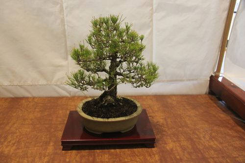 Allen Sugimura - Japanese Black Pine