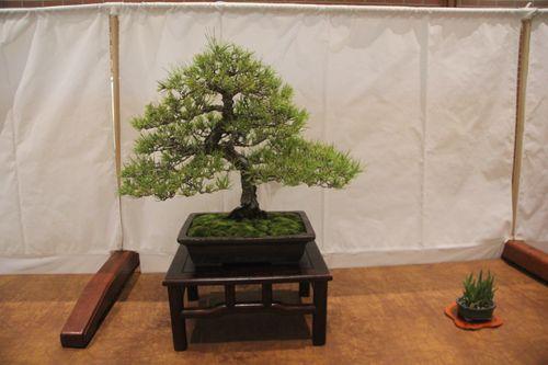 June Nguy - Japanese Black Pine