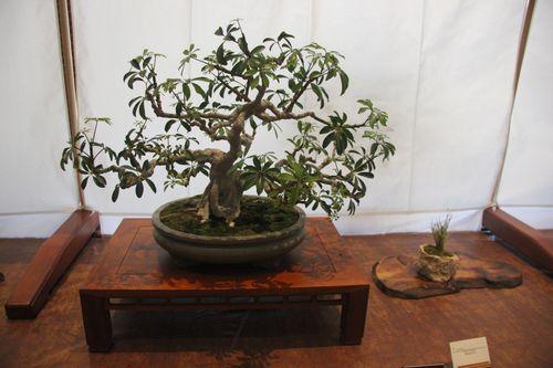 Keith Water - Umbrella Tree