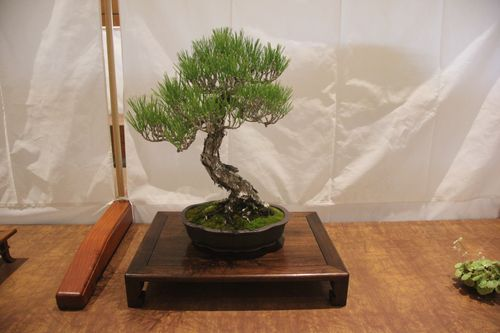 Leila Kusumi - Japanese Black Pine