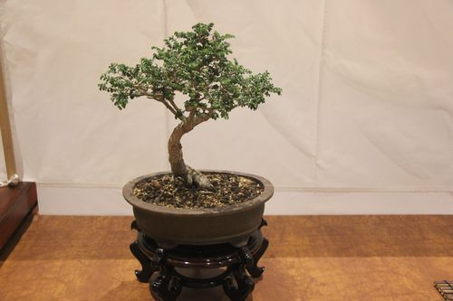 Nelson Sanabria - Chinese Elm