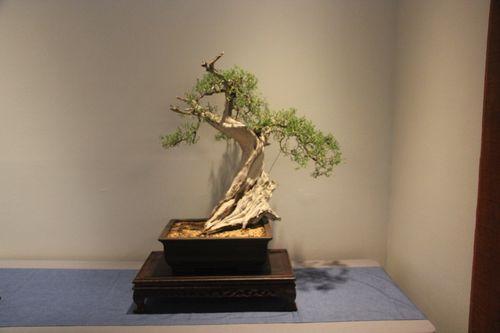 California juniper - Cesario Perez