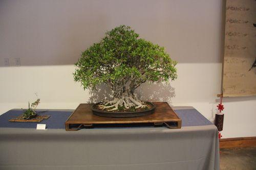 Ficus - Denny Roche