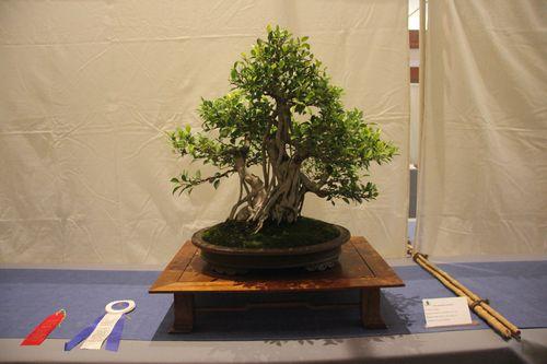 Ficus Retusa - Nathan Simmons