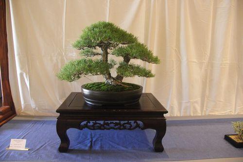 Japanese Black Pine - Peter Macasieb