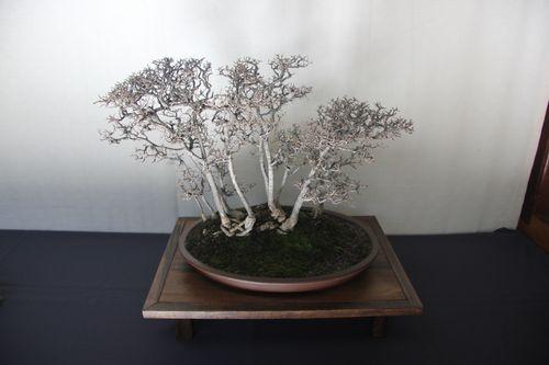 Chinese Elm - Elaine Jeche