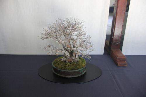 Chinese Elm - Nina Ragle