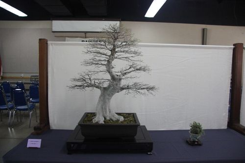 Chinese Hackberry - Dien Liang