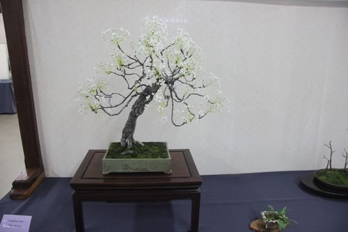 Flowering Pear - Cheryl Manning