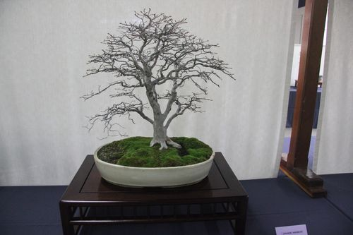 Japanese Hornbeam - Jim Barrett